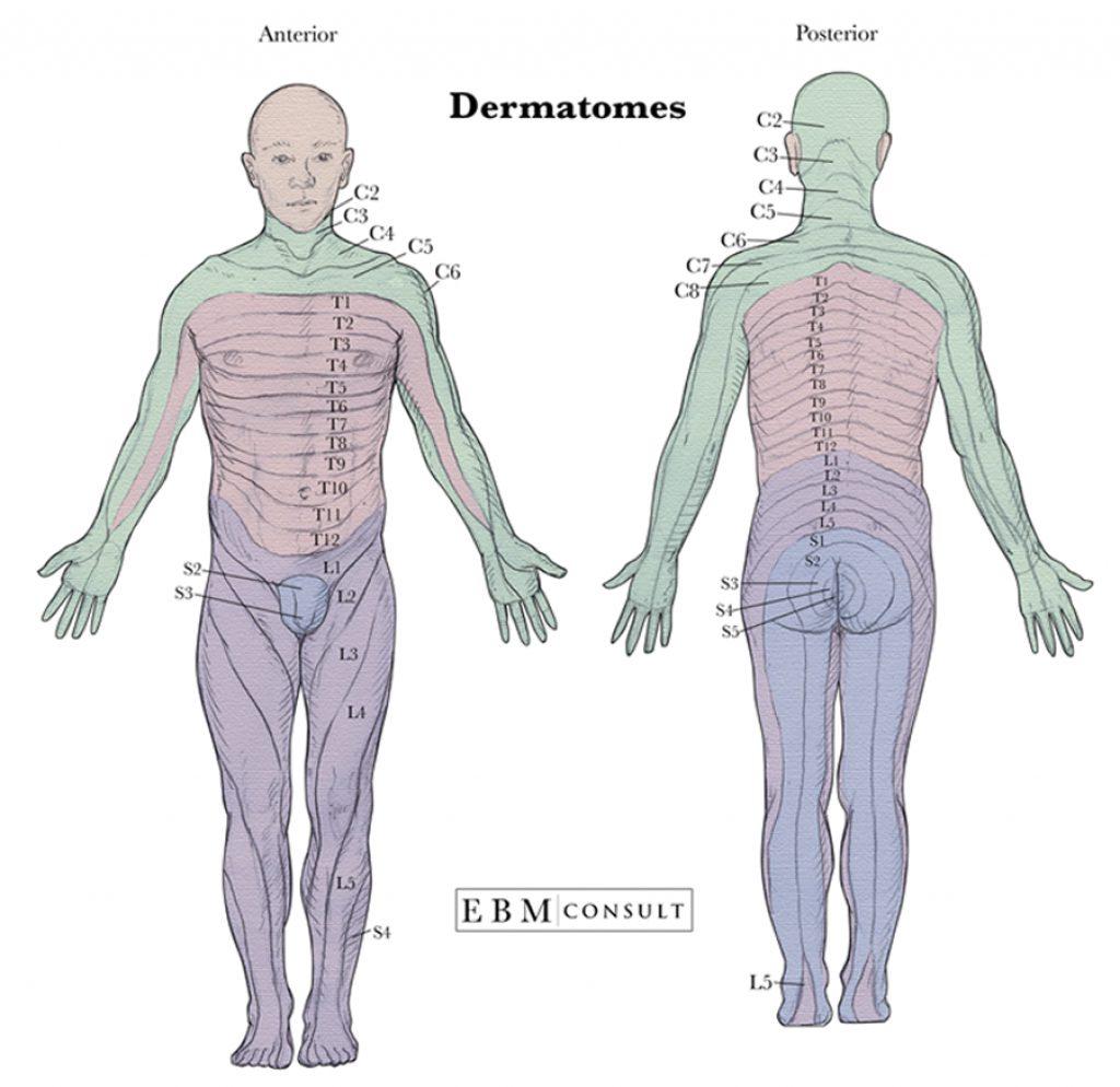 Anatomy Dermatomes Full Body Anterior Posterior Image