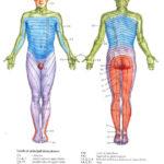 Dermatomes Nclex Radiculopathy Occupational Therapy