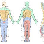 Printable Dermatome Chart Total Life Care Compounding In